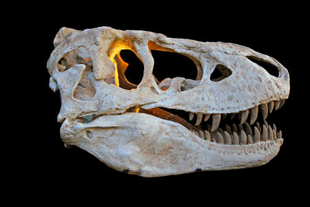 strong skeleton: The skull from a prehistoric tyrannosaurus rex dinosaur Stock Photo