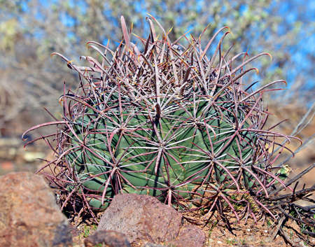A desert barrel cactus in the Arizona desert photo