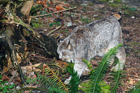 canadensis: Canada Lynx - Lynx canadensis Stock Photo
