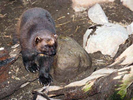 Wolverine - Gulo gulo photo