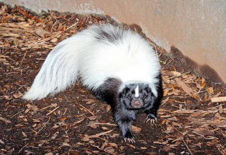 zorrillo: Americana Hog-nosed Skunk - Conepatus leuconotus