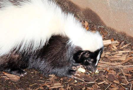 American Hog-nosed Skunk - Conepatus leuconotus Stock Photo - 18796462