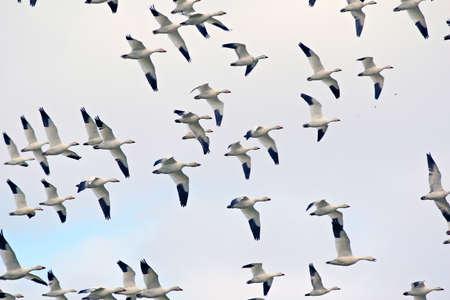 Spring migratory snow geese