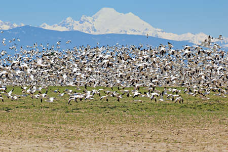 migrate: Spring migratory snow geese with Mount Baker in the background Stock Photo