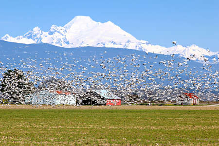wildlife refuge: Spring migratory snow geese with Mount Baker in the background Stock Photo