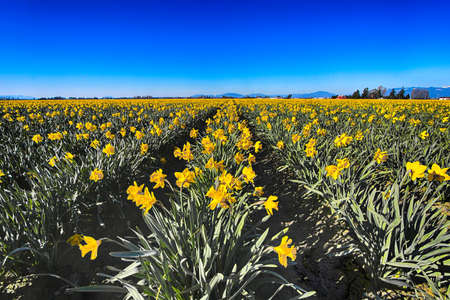 Field of spring daffodils photo