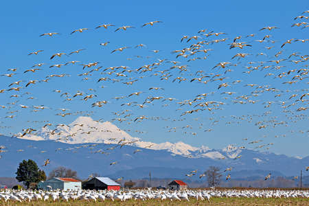 mount baker: Spring migratory snow geese with Mount Baker in the background Stock Photo