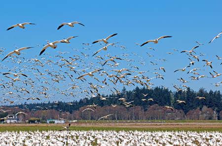migratory: Spring migratory snow geese