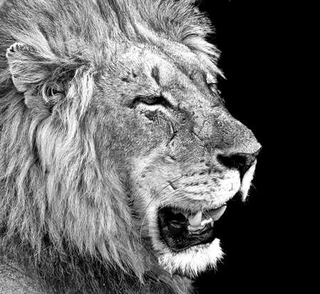 male lion with battle scars Stock Photo