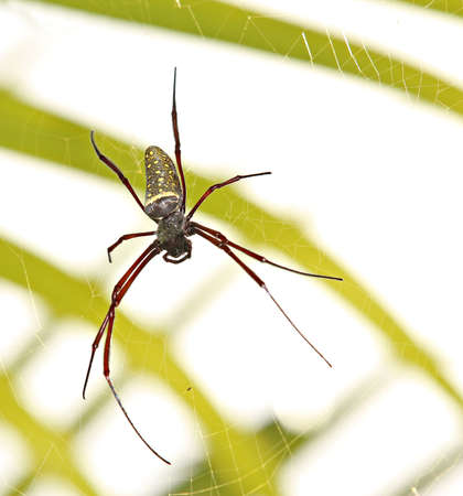 A large female golden orb spider photo