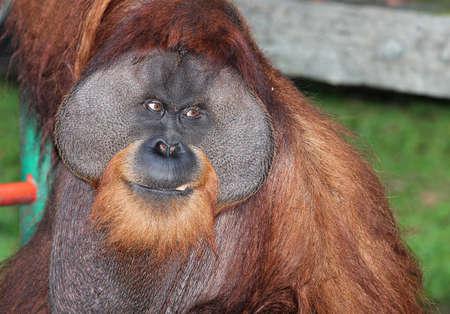 utang: Portrait of a Large Male Orangutan