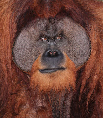 Portrait of a Large Male Orangutan
