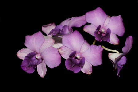 beatiful purple orchid on black photo