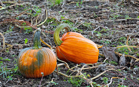 A field with fall harvest of pumpkins