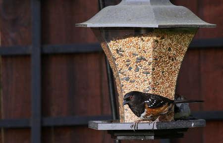 maculatus: The Towhee bird on a garden bird feeder