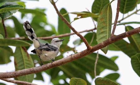 mockingbird: Tropical Mockingbird (Mimus gilvus)