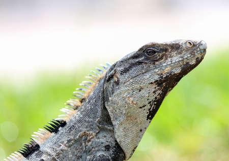 spiny: Closeup up of a Spiny Tailed Iguana in Mexico