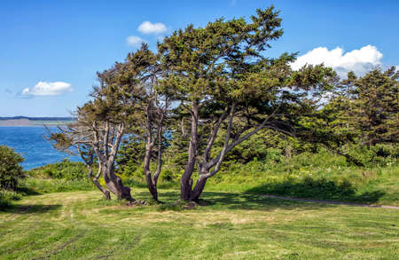 casey: Fort Casey State Park - Pinus Contorta or Twisted Pine