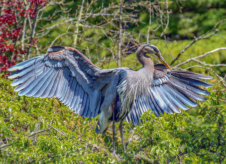 wingspan: Great Blue Heron sunning in the warm sunshine Stock Photo