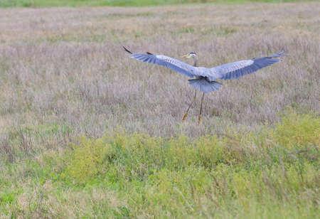 heron: Grey Heron
