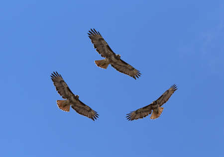 redtail: Red tailed hawk Editorial