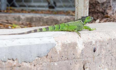 iguana: Green Iguana