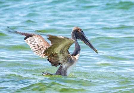 The brown pelican is a small pelican found in the Americas