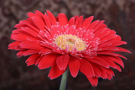 gerber daisy: Beautifully detailed Gerber Daisy