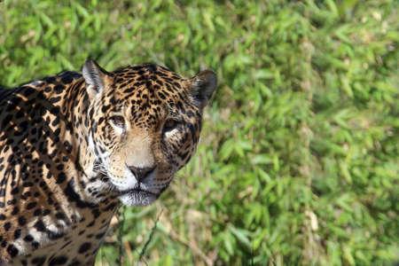 spotted fur: Jaguar portrait