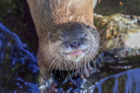 small clawed: Asian small clawed otter