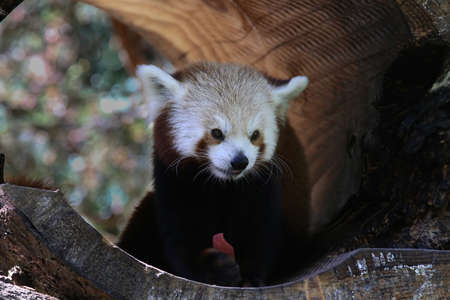 catlike: The red panda, panda being the Nepalese name for small, cat-like animal, belongs to the order Carnivora.