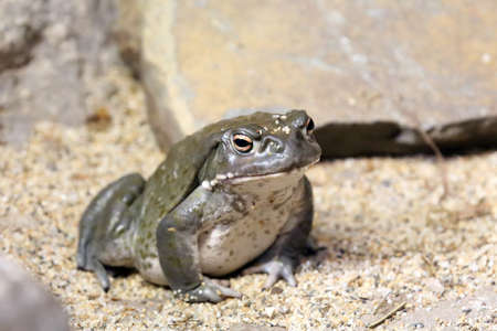 ugliness: Colorado River Toad