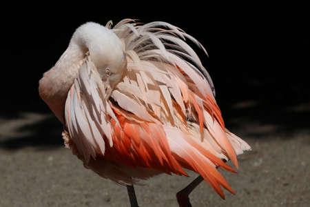 phoenicopterus: phoenicopterus  chilensis or Chilean Flamingo
