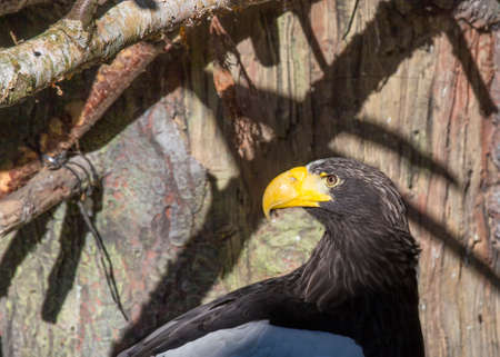 bird s eye: Stellers Sea Eagle