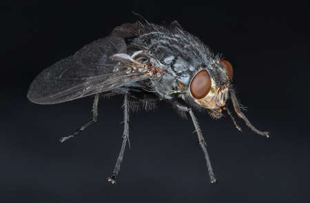 housefly: Detailed closeup of a common domestic housefly