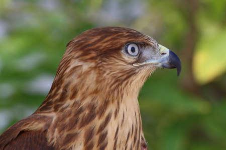 zopilote: Primer plano de un halcón de ojos blancos