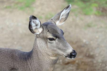 mule deer: Head shot of a female mule deer Stock Photo