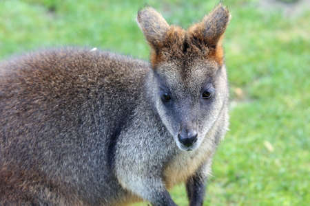 The swamp wallaby is a small macropod marsupial of eastern Australia. Stock Photo