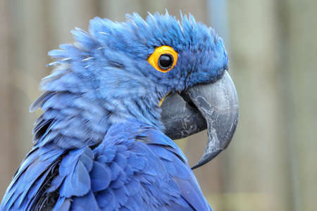 The hyacinth macaw, or hyacinthine macaw, is longer than any other species of parrot. 스톡 콘텐츠