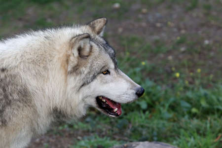 The gray wolf or grey wolf, also known as the timber wolf or western wolf Stock Photo