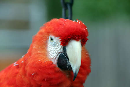 Beautiful bright scarlet macaw parrot Stock Photo