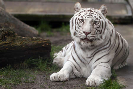 White Tiger relaxing in captivity