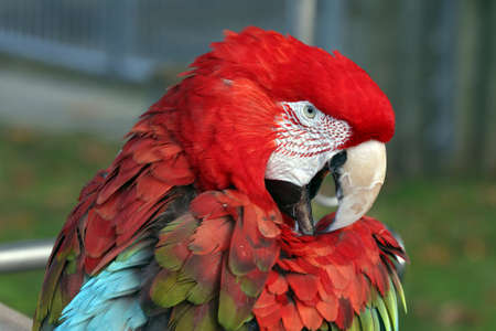 Colorful Green-Winged Macaw Parrot Bird Stock Photo