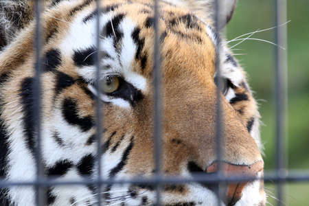 Beautiful close-up of a tiger in captivity Stock Photo
