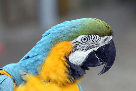 The blue-and-yellow macaw, also known as the blue-and-gold macaw