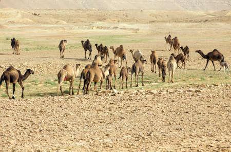 Saudi Arabia desert camel 版權商用圖片