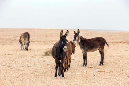 Desert donkeys Stock Photo