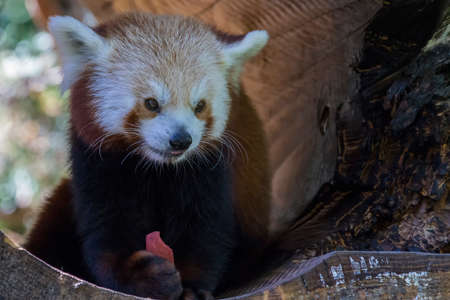bearcat: Red Panda Stock Photo