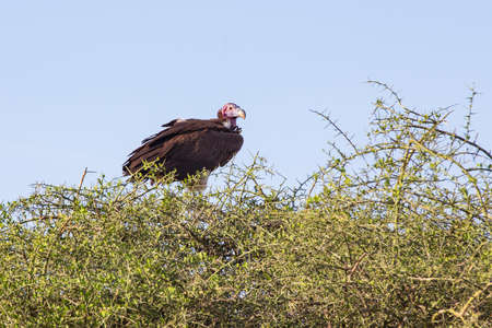 Lappet-faced vulture perched in a tree Stock Photo