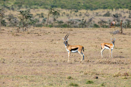 tanzania antelope: Thomsons Gazelle on high alert